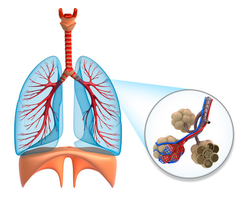 Легкие состоят из из маленьких альвеол, которых около 750,000,000
