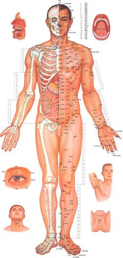 Меридианы соединяют между собой внутренние органы, конечности и кости.